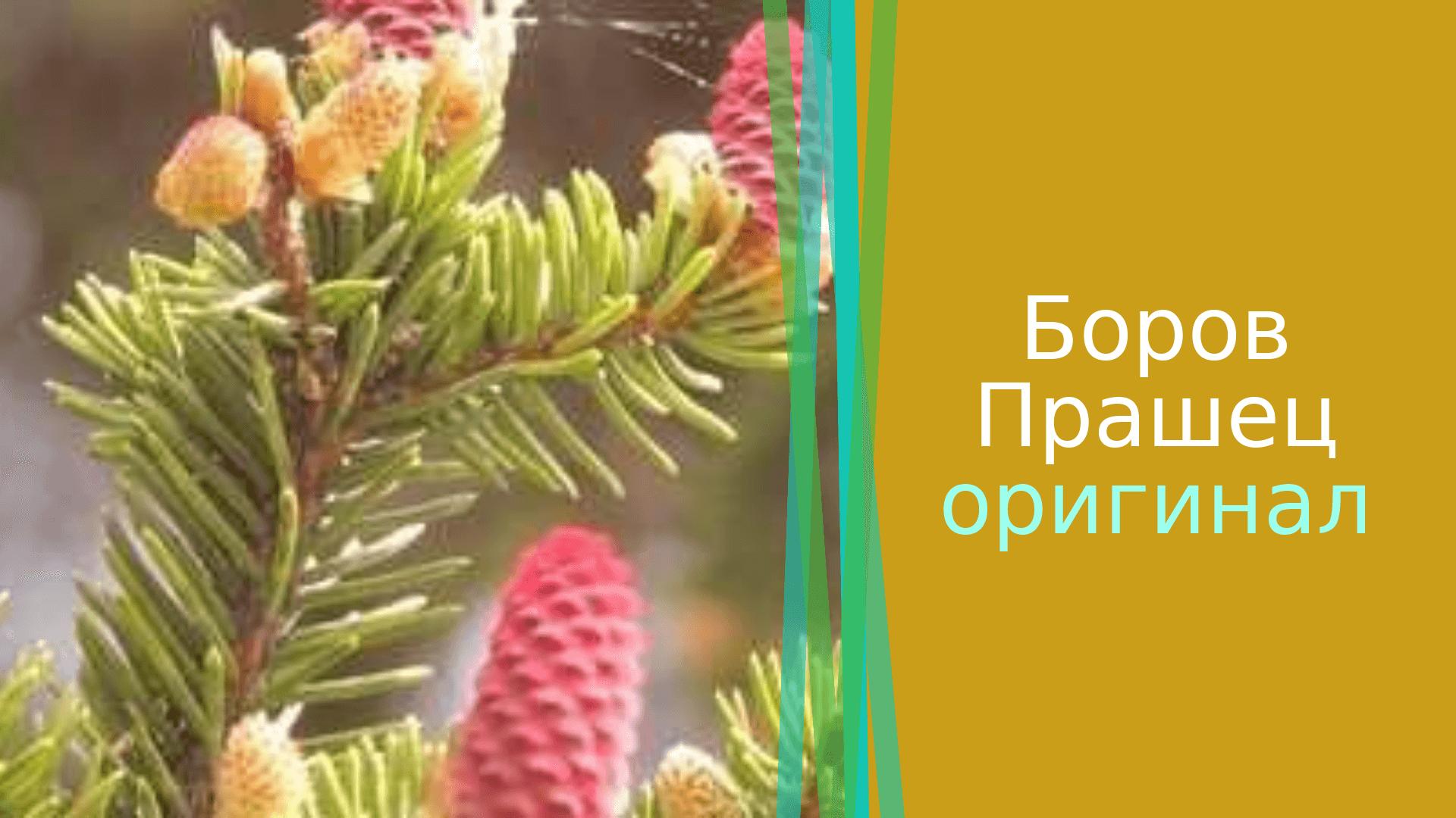 БОРОВ ПРАШЕЦ 4 НАУЧНИ ФАКТА