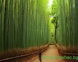 Бамбук на здравето